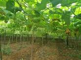Big C pousse la consommation des chayottes cultivées dans le sable de Nghê An