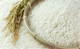 Le projet de production de riz Vietnam - Cuba entre dans une nouvelle phase