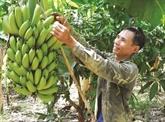 La banane deviendra la principale exportation agricole du Laos