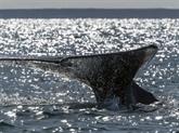 Canada: trois espèces de baleines