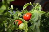 Washington impose des droits anti-dumping sur les tomates mexicaines