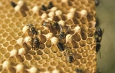 À Cuba, les abeilles butinent heureuses et leur miel ravit l'Europe