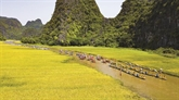 Tam Côc à la saison des rizières dorées