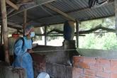 Hanoï a abattu plus 20% de son cheptel porcin