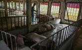 La peste porcine pourrait faire des ravages en Asie pendant des années