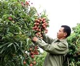 La saison des litchis à Bac Giang