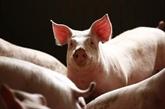 La peste porcine africaine se répand au Cambodge