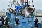 Premières prises de baleines à des fins commerciales depuis 31 ans