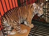 Pour protéger les tigres sauvages au Vietnam