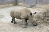 États-Unis: la naissance d'un rhinocéros blanc, source d'espoir pour l'espèce