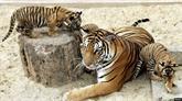 Tigre: la criminalité liée aux espèces sauvages remet en cause les efforts du Vietnam