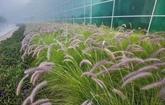 La Thaïlande promeut la production d'électricité à partir d'herbes à éléphant