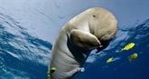 Mort du bébé-star dugong