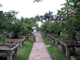 Dans le village de Vi Khê, la vie au rythme des bonsaïs