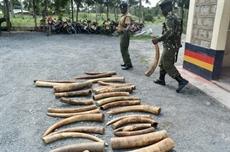 LEurope incitée à fermer son marché de livoire pour mieux protéger les éléphants