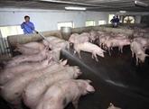 Les Pays-Bas partagent ses expériences dans la lutte contre la peste porcine africaine