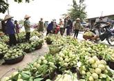 Lang Son à la saison des pommes cannelles