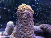 Des scientifiques font se reproduire du corail américain en laboratoire