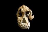 Découverte d'un crâne vieux de 3,8 millions d'années