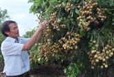 Le premier lot de longanes frais vietnamiens arrive en Australie