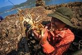 À Phu Yên, l'élevage de langoustes rapporte gros