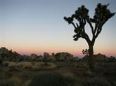 États-Unis: le réchauffement climatique pourrait éradiquer les arbres de Josué d'ici 2100