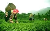 Le thé de Tam Duong,