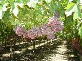 Des raisins frais sud-africains attendus au marché vietnamien