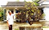 Les abricotiers-bonsaïs aident les Huéens à faire fortune