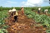 Près dun milliard dUSD dexportation de manioc en 2019nbsp