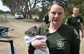 Course contre la montre pour sauver les animaux sur l'île Kangourou