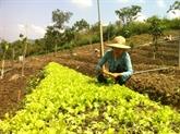 Une grande ferme de légumes bio en banlieue de Hanoï