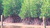Protéger les mangroves, un enjeu vital pour Tam Giang