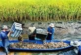 Le delta du Mékong développe la pénéiculture en symbiose avec la riziculture