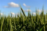 L'Argentine devient le premier à autoriser du blé OGM