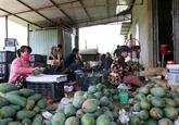 Environ 2,8 millions d'USD d'exportations vietnamiennes de mangues aux États-Unis