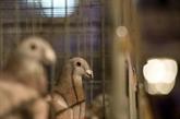 Le prix d'un pigeon voyageur s'envole à 1,6 million d'euros, nouveau record
