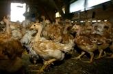 Grippe aviaire : un premier cas en France détecté en Haute-Corse