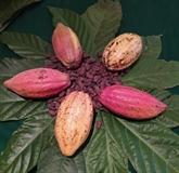 Vers la construction d'une marque de cacao vietnamienne unique