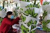Les bananes vietnamiennes bien vendues au marché japonais