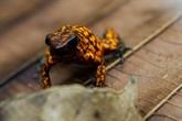 En Équateur, une colonie de grenouilles pour les sauver de l'extinction