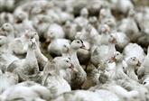 Par crainte d'un virus aviaire, les volailles confinées dans 46 départements