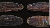Un serpent irisé aux écailles réfléchissantes découvert au Vietnam
