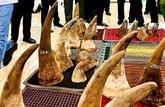 Découverte d'objets semblables à des cornes de rhinocéros à Hô Chi Minh-Ville