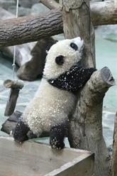Chine : baptême médiatique pour le dernier-né des grands pandas à Taïwan