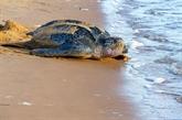 Équateur : découverte d'un nid d'énorme tortue luth, en voie d'extinction