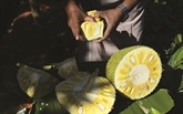 Le jaque, ce fruit indien qui suscite un appétit international