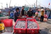 Une saison des anchois propice pour les pêcheurs de Quang Tri