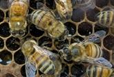 Le twerk des abeilles décodé par les scientifiques