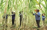 Accélérer la restructuration du secteur sucrier